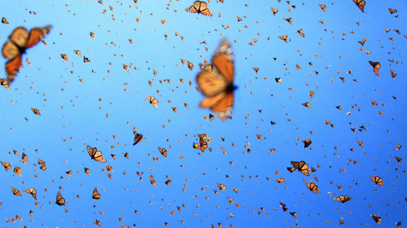 """Monarch butterflies in flight in """"Flight of the Butterflies."""""""