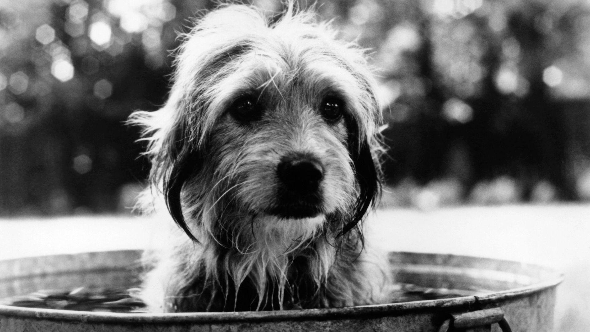 """Benji from """"Benji (1974)."""""""