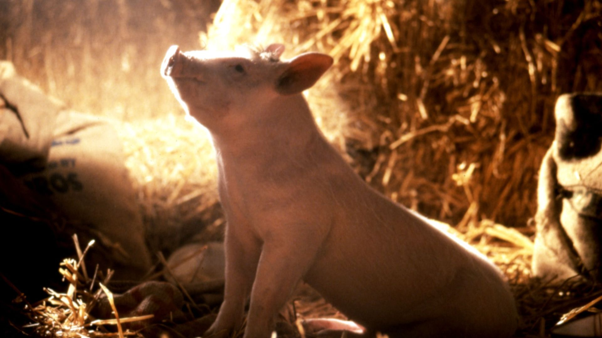 """Babe the pig in """"Babe."""""""